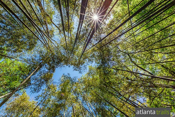 The East Palisades Trail hikes throuhg a towering bamboo forest on the banks of the Chattahoochee River