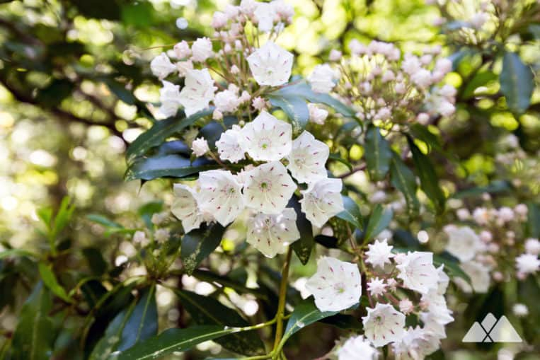 Hike through abundant wildflowers and blooming mountain laurel in springtime on the Beech Bottom Trail in Georgia