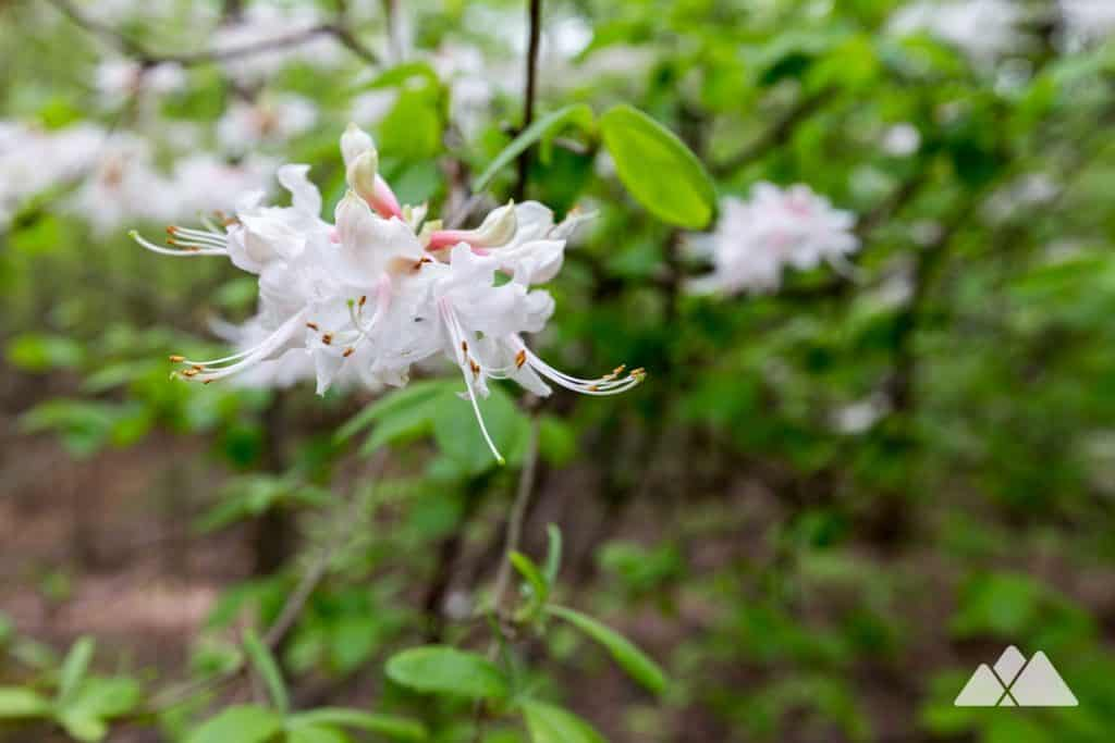 Hike or run through flowering springtime forest at Kennesaw Mountain near Atlanta