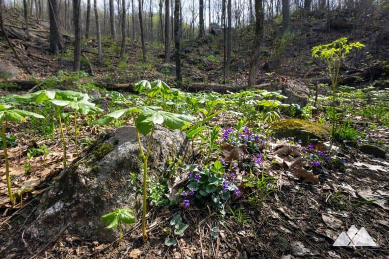 Hike North Georgia's Yonah Mountain in springtime, when wildflowers cover the forest floor