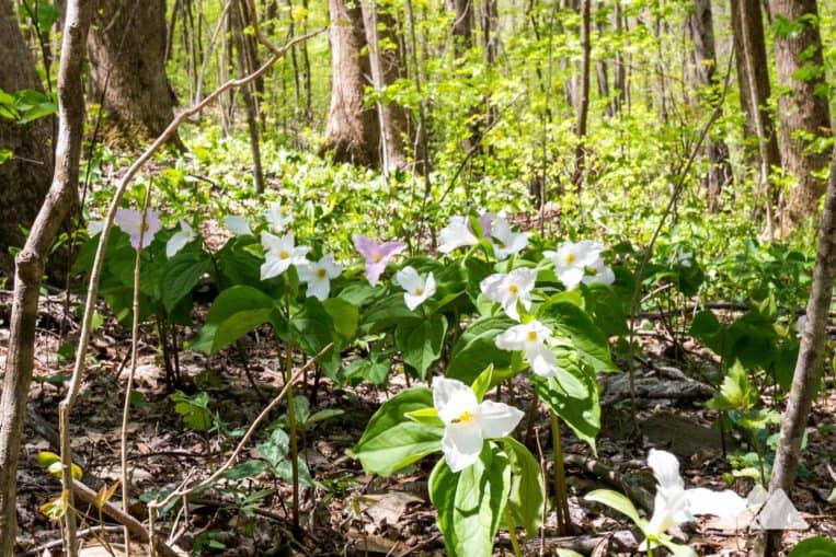 Hike the Appalachian Trail from Woody Gap to Jarrard Gap in North Georgia, exploring a forest filled with native wildflowers