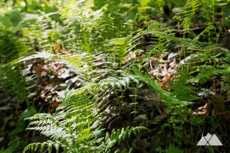 Hike the Appalachian Trail from Woody Gap in North Georgia, exploring a lush, green, fern-filled forest