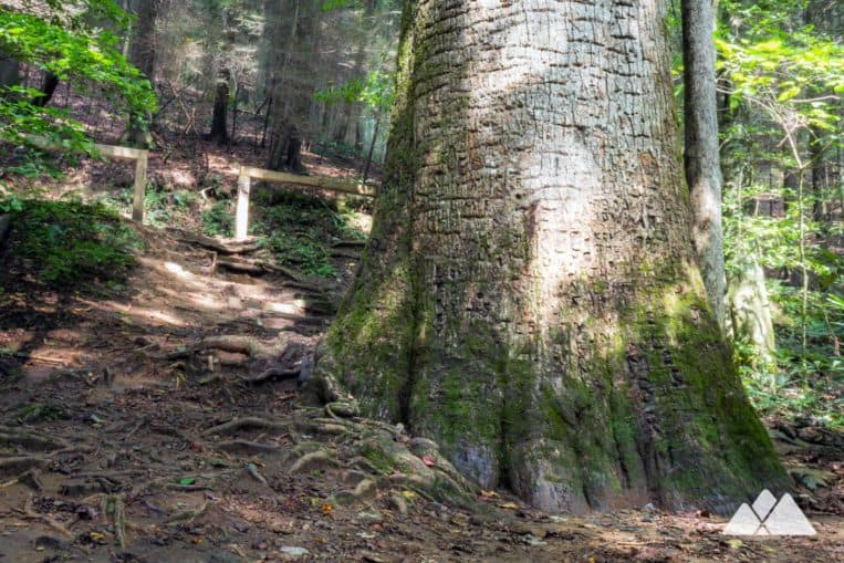 Hike the Bear Creek Trail to the enormous Gennett Poplar tree, the second largest tree in Georgia