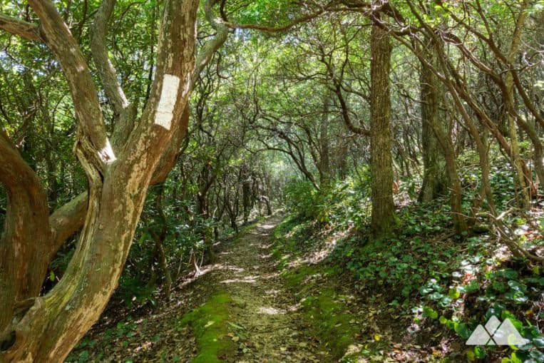 Tray Mountain: hike the Appalachian Trail through tunnels of rhododendron and mountain laurel from Indian Grave Gap